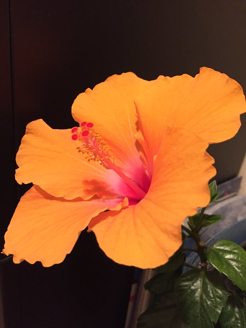 Hibiscus orange large bloom. My fave house plant which has been going strong for more than a decade.