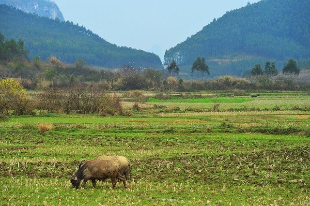 Gulucun - Pasture