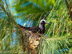 Noddy Bird