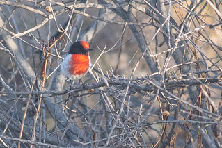Red-capped Robin | by steve happ