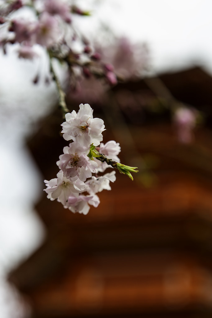 Cherry Blossom & A Buddhist Pagoda In Japan