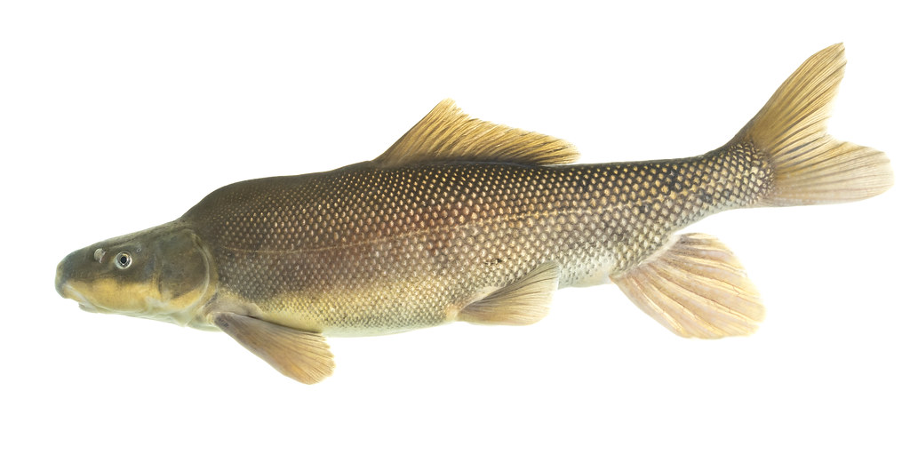 Juvenile Lake Trout