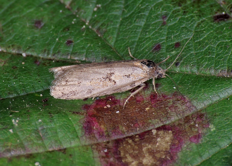 49.044 Winter Shade - Tortricodes alternella