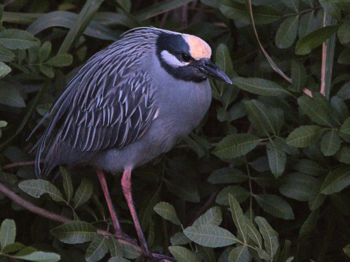 Yellow-crowned Night-Heron 20190306