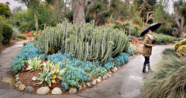 At the Huntington Library cactus garden in LA