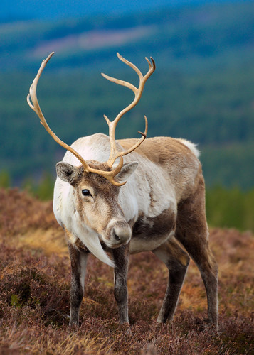 Reindeer in the wild in Scotland | by Tigs.photos