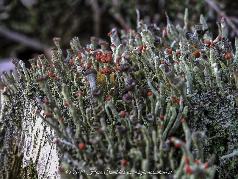 Rode heidelucifer (Cladonia floerkeana)-819_0551