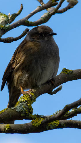 Dunnock, Castle Grounds, Bridgnorth