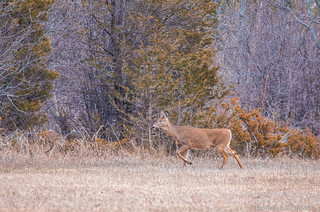White-tailed Deer (DOL-A-8699)