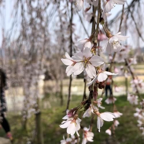 京都出町柳の桜