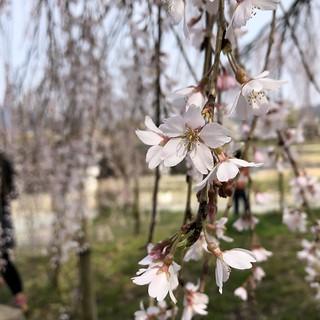 京都出町柳の桜 | by Hiroaki Taguchi