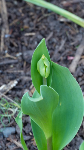 Tulip, not quite open