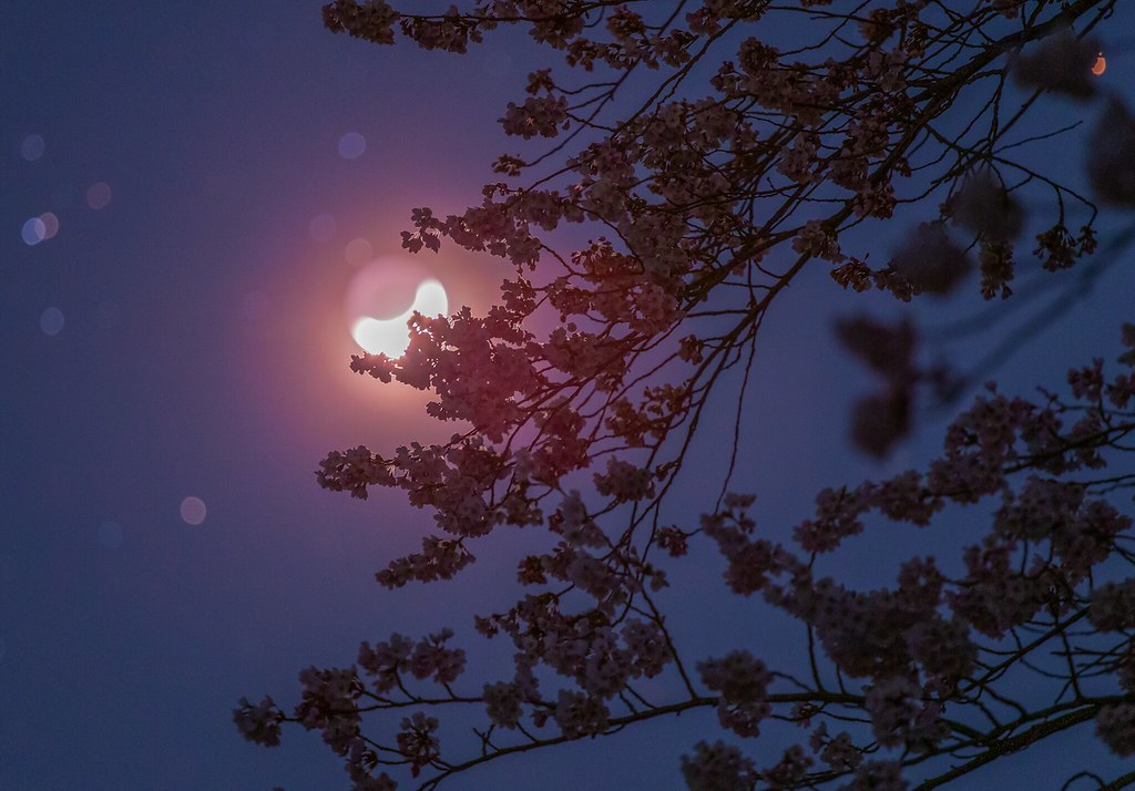 the crescent moon entering Hyades and cherry blossoms