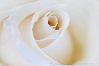 Soft White Rose, 4.17.18   by pattyoboe