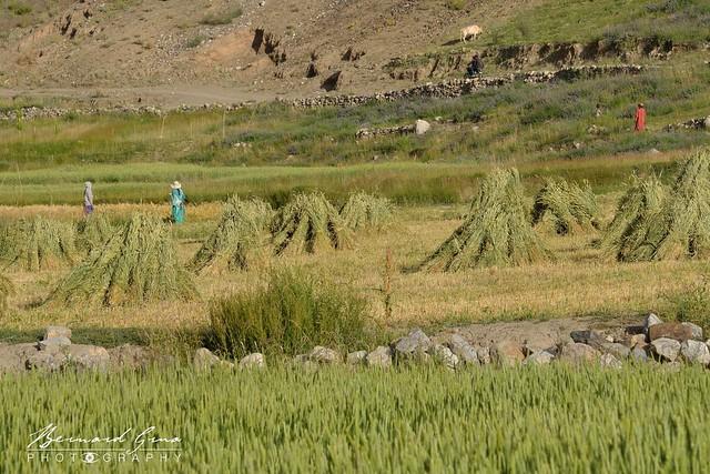 Femmes travaillant dans les champs, Zood Khun, Vallée Chapursan