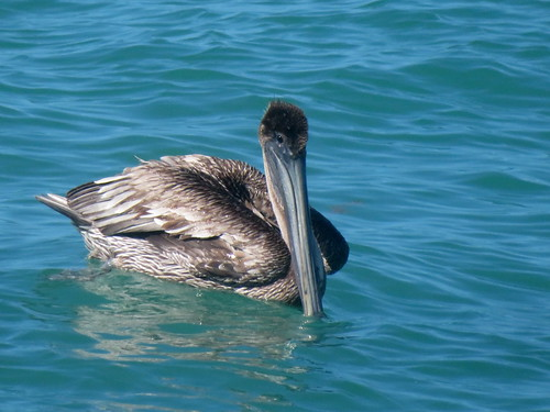 Brown Pelican, Fort Zachary Taylor S.P., Key West, Florida 3/14/2019 | by Marg Higbee