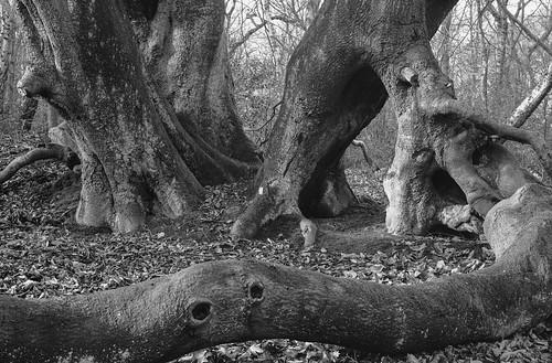 acros tree branches blackandwhite 6x9 mediumformat monochrome ancientwoodland rural northeast landscape