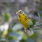 Prairie Warbler_19-03-02_WDC_0761AM2