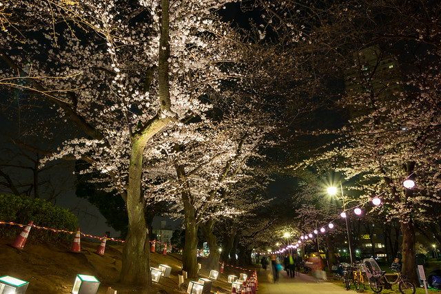 Sakura under lights