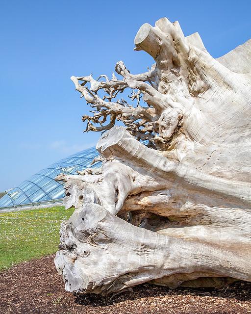 Denya Tree Root