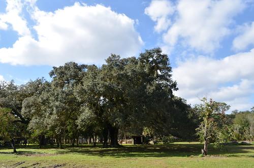 florida alva tuckahoe landscape tree oak liveoak spring 2016 blue sky white clouds leecounty swfl southwest hurricane irma
