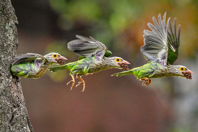 s 20190327_Lineated Barbet_DSC_1058_59_60 montage