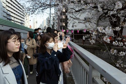 Nakameguro sakura   by telyas