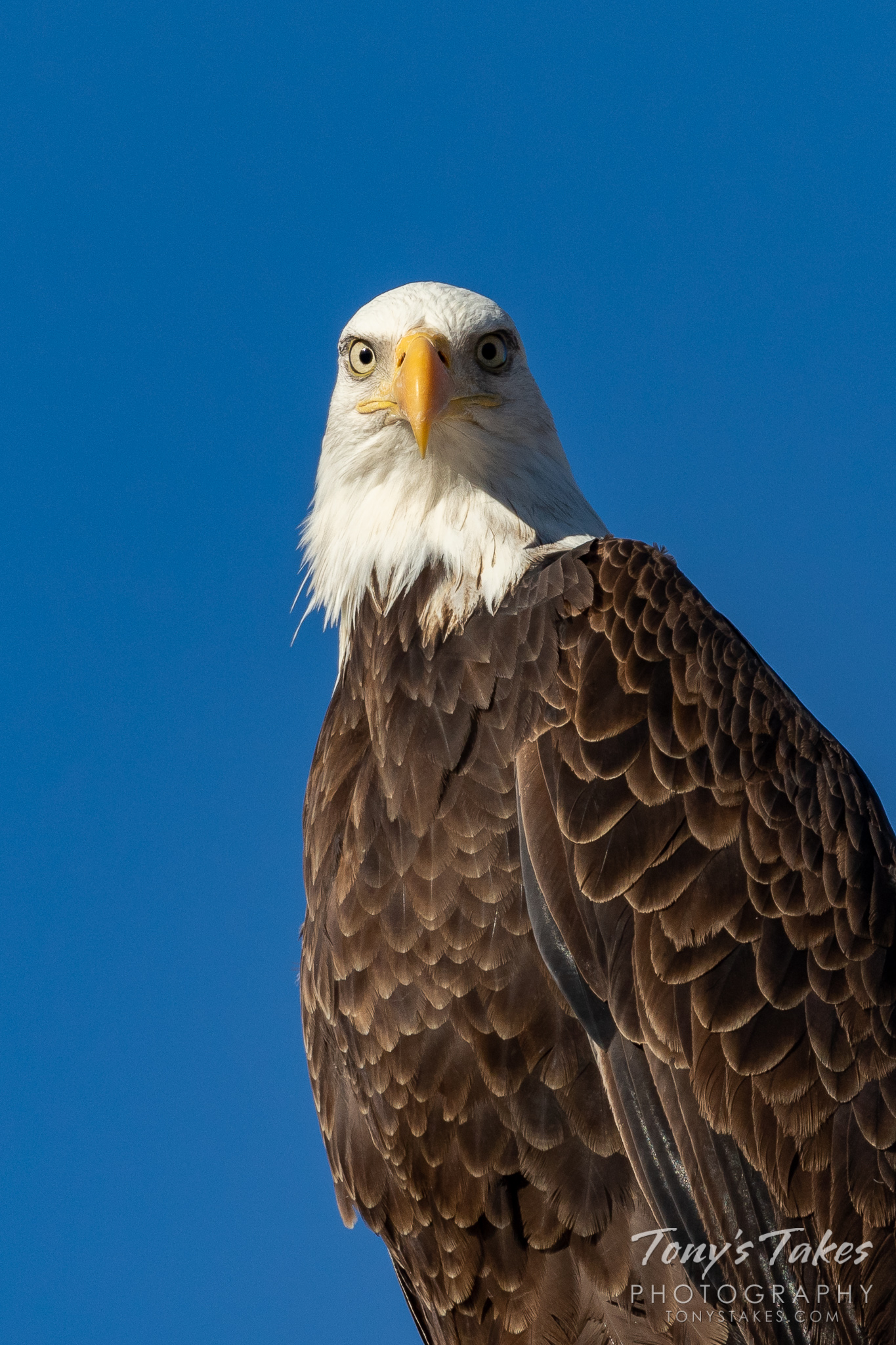A bald eagle keeps closely focused on the viewer. (© Tony's Takes)
