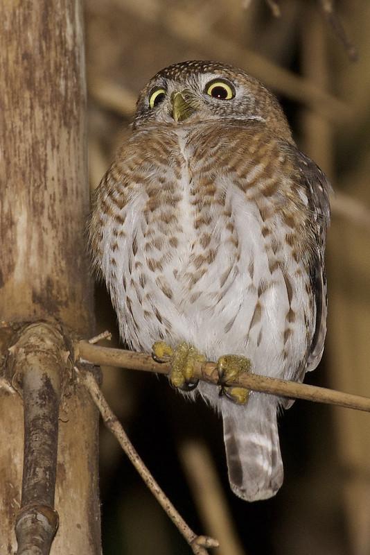 Cuban Pygmy Owl, Glaucidium siju Ascanio_Cuba 1 199A4362