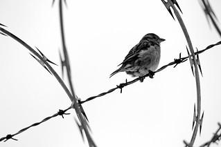 Birded Wire
