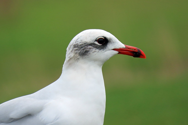 Mediterranean Gull - Larus melanocephalus
