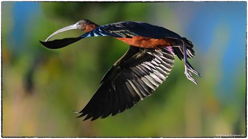 apollobeach florida raphaelkopanphotography d500 600mmf4evr nikon