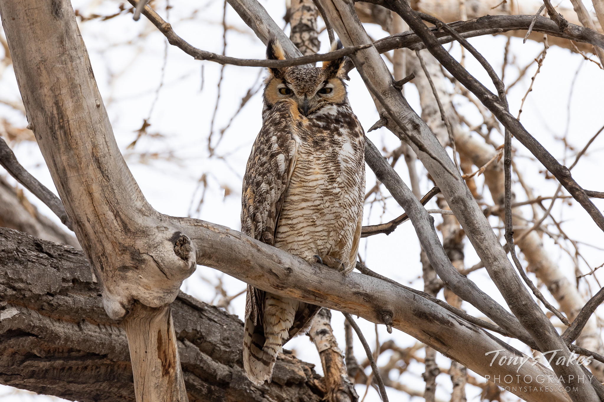 A great horned owl keeps close watch on the photographer in Thornton, Colorado. (© Tony's Takes)