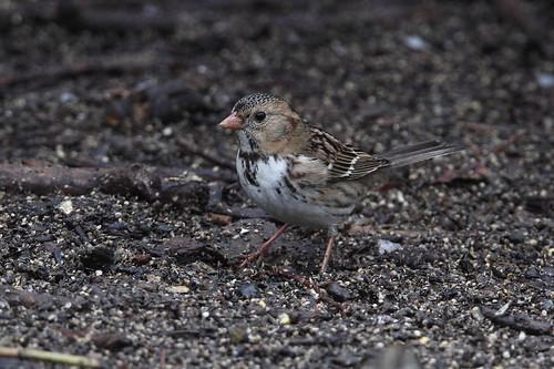 yakima yakimaareaarboretum bird harrisssparrow