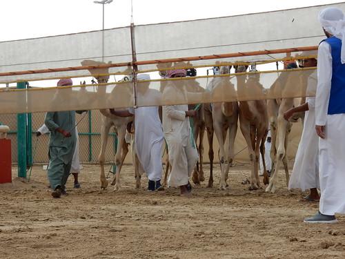 Al Marmoom Camel Racing Track - 6