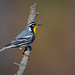 Yellow-throated Warbler by PhillymanPete