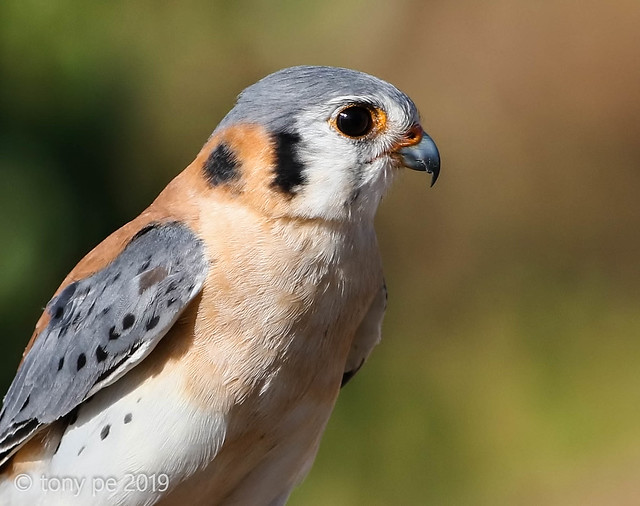 Cernícalo- Falco sparverius- American Kestrel