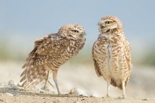 Burrowing Owl | by Tang Heng