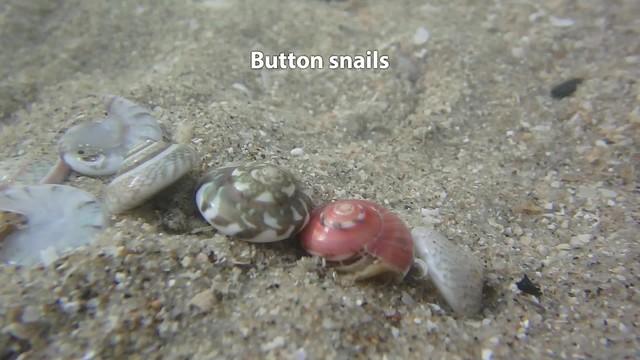 Button snails (Umbonium vestiarium)