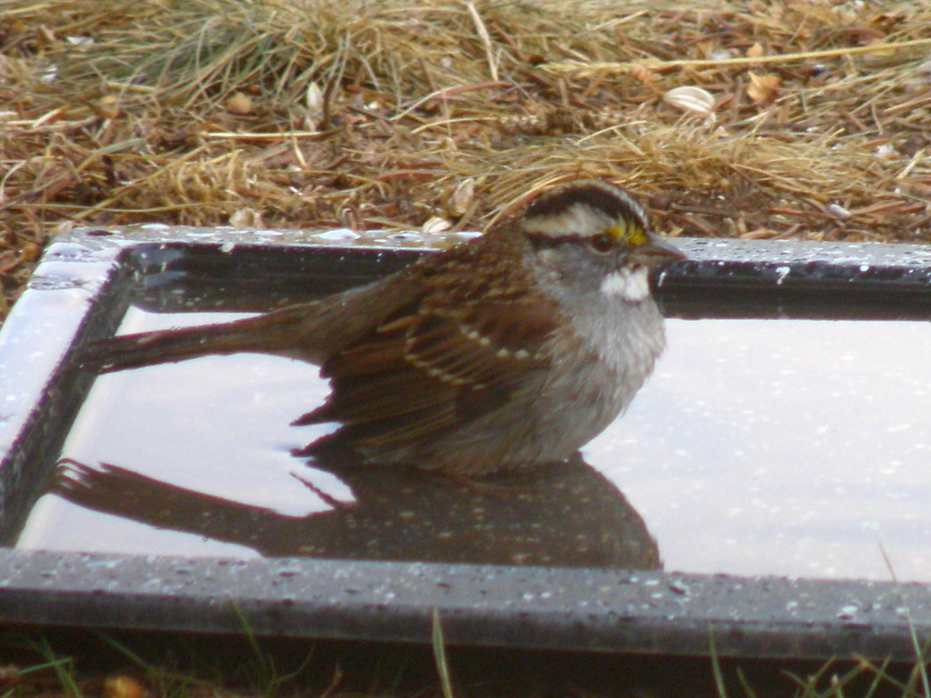 P9254735...white-throated sparrow