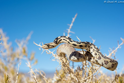 Great Basin Gopher Snake (Pituophis catenifer deserticola) Explored. | by Chad M. Lane