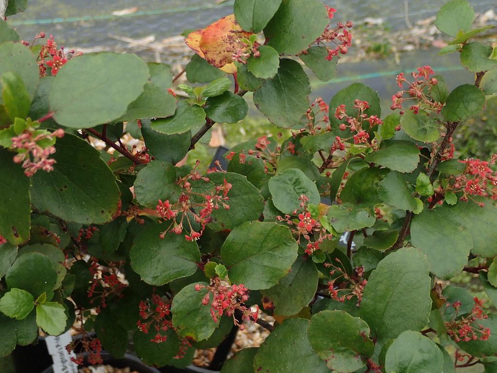 Ribes viburnifolium