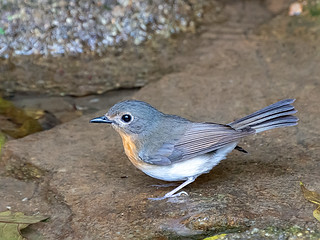 Indochinese Blue-flycatcher (Cyornis sumatrensis)