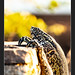 Varano del Nilo - Varanus niloticus @Kruger National Park South Africa
