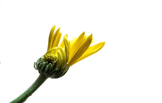 Daisy Bud And Petals | by smfmi