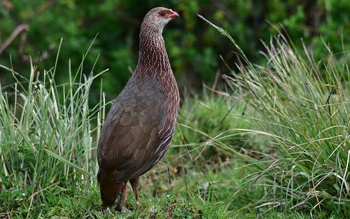 featured jacksonsfrancolin aberdarenationalpark desktop kenya birds
