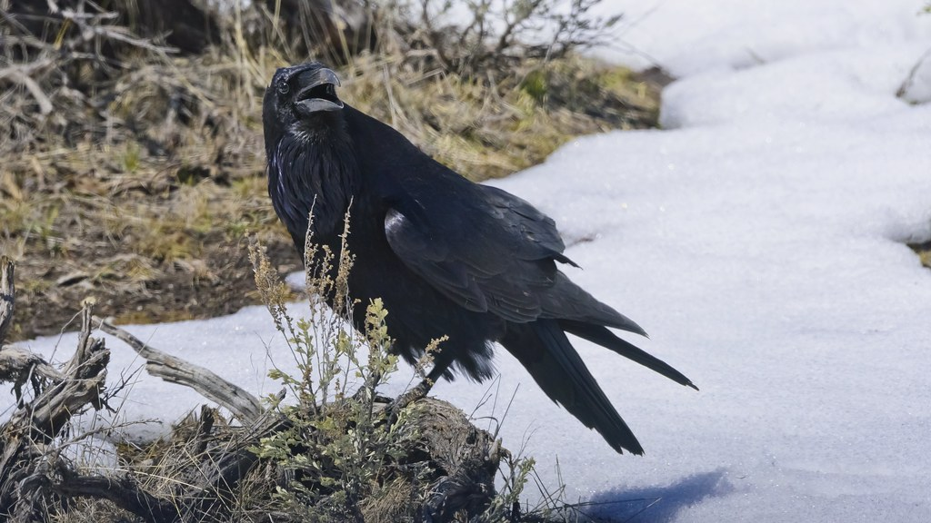 Common Raven 4305 | This Common Raven sounds off in Yellowst