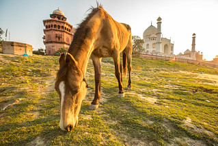 The Horse & the Taj Mahal | by Geraint Rowland Photography