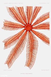 Brisingidae starfish vintage poster