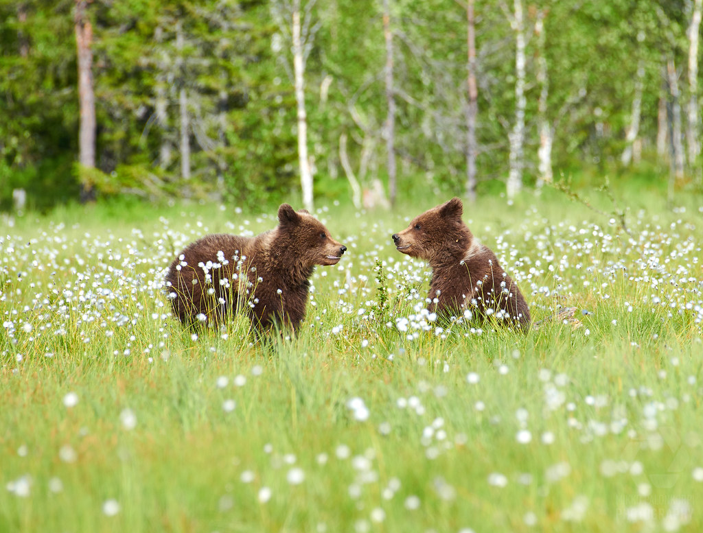 Bear | Two young brown bear in the middle of cottongrass flo
